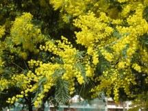 mimosa 5